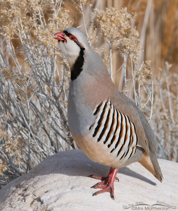 Chukar calling in early spring