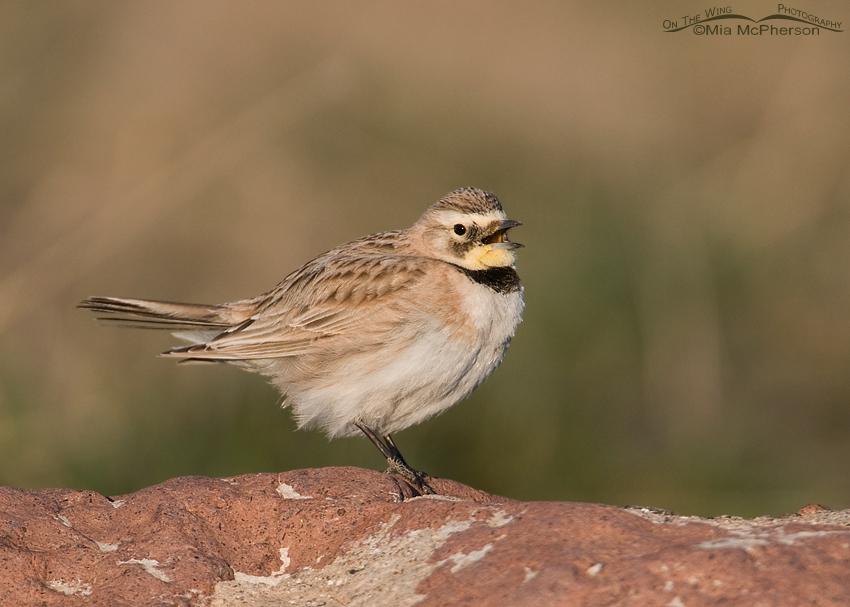 Female Horned Lark singing