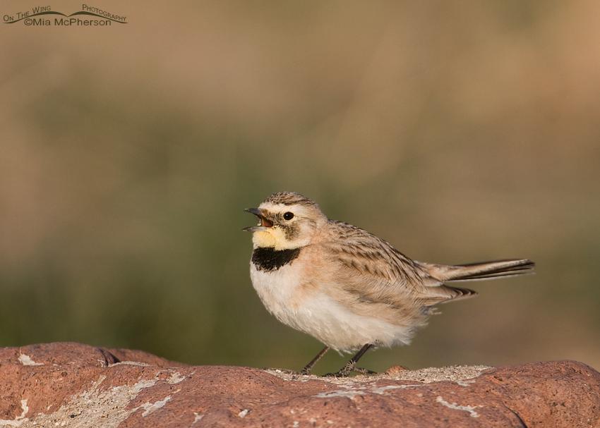 Singing female Horned lark in Tooele County