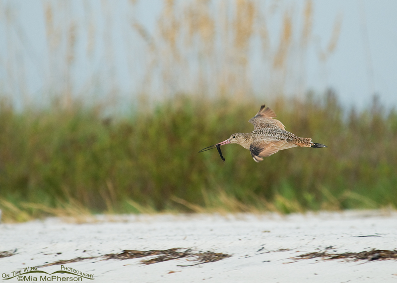 Marbled Godwit in flight with a Tubeworm