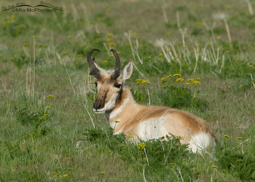 Pronghorn buck resting in green grasses