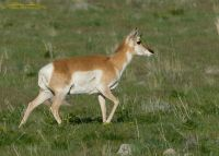 Pronghorn doe in the spring