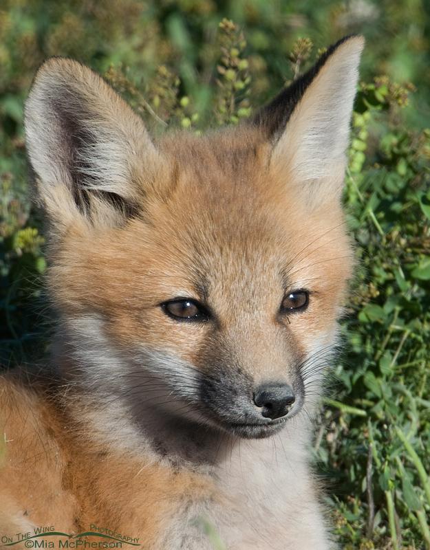 Red Fox Kit portrait