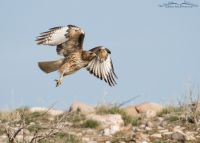 Red-tailed Hawk right after lift off