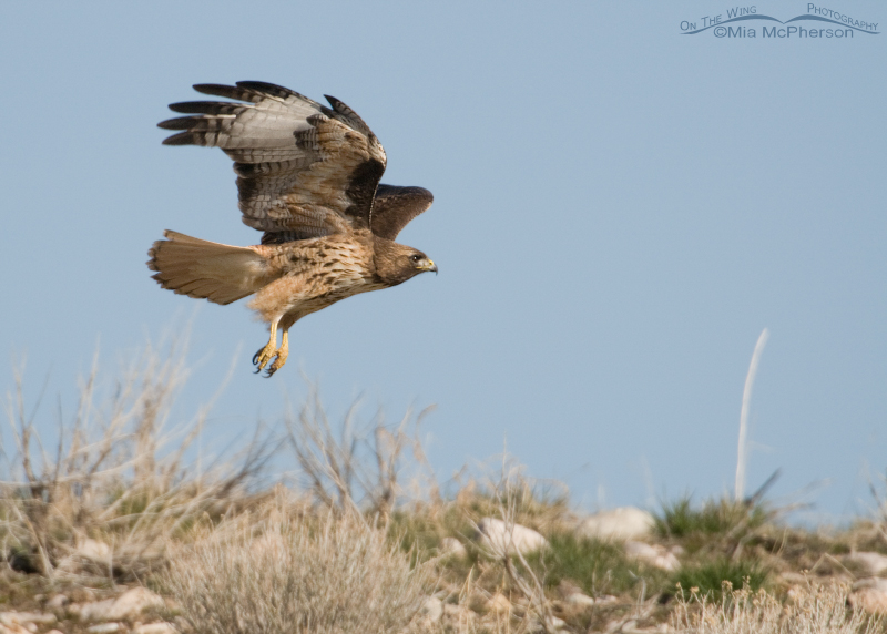 Red-tailed Hawk flying over a ridge