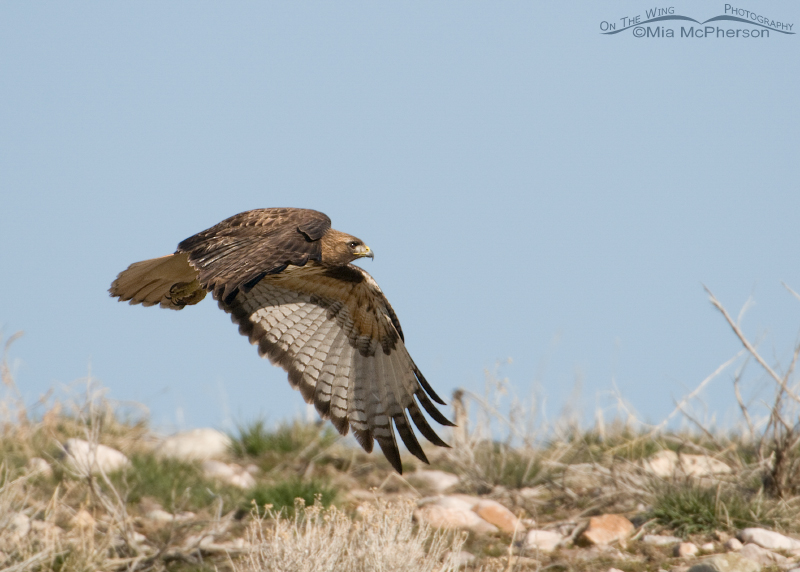 Red-tailed Hawk fly by