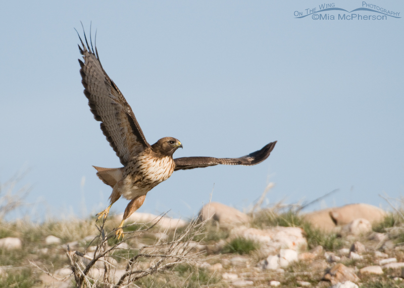 Red-tailed Hawk lift off