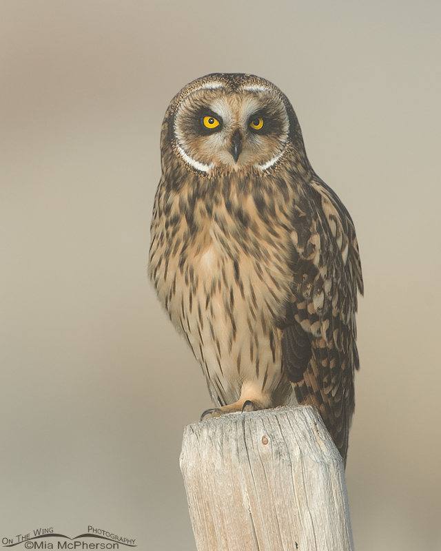 Short-eared Owl at Red Rock Lakes National Wildlife Refuge