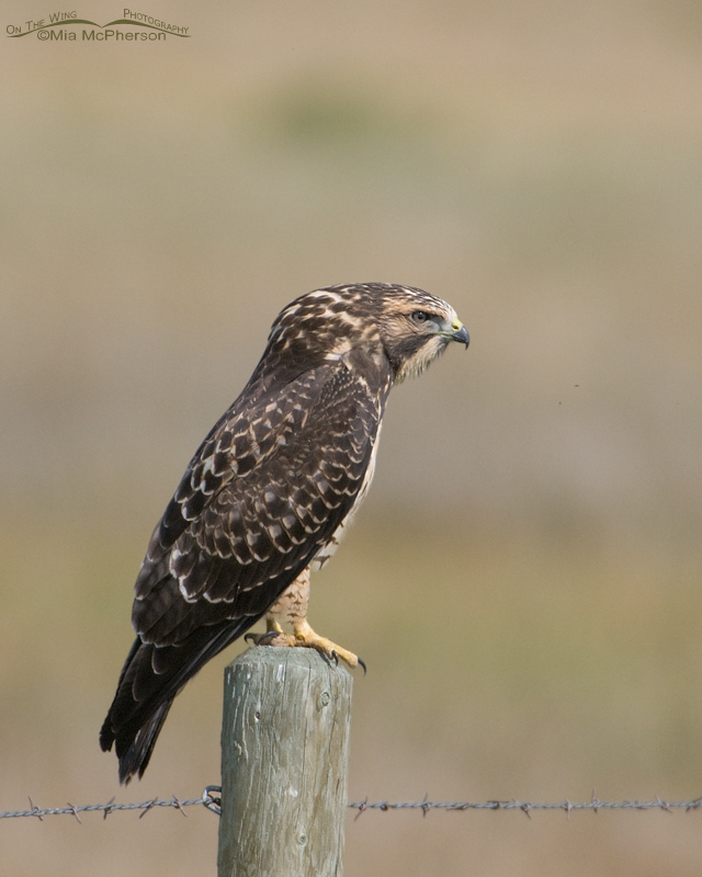 Juvenile Swainson's Hawk