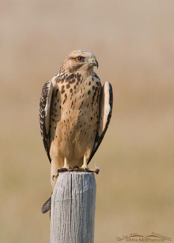 Juvenile Swainson's Hawk at Red Rock Lakes National Wildlife Refuge
