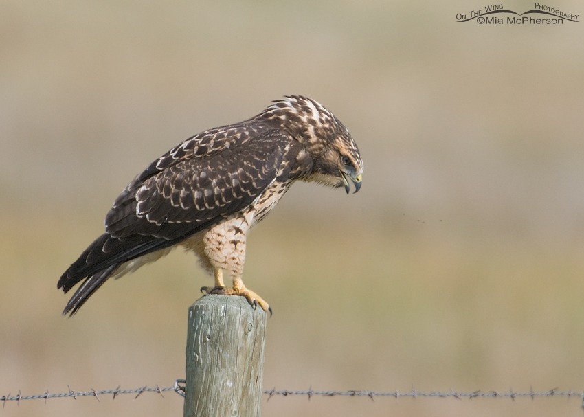 Juvenile Swainson's Hawk attempting to expel a pellet