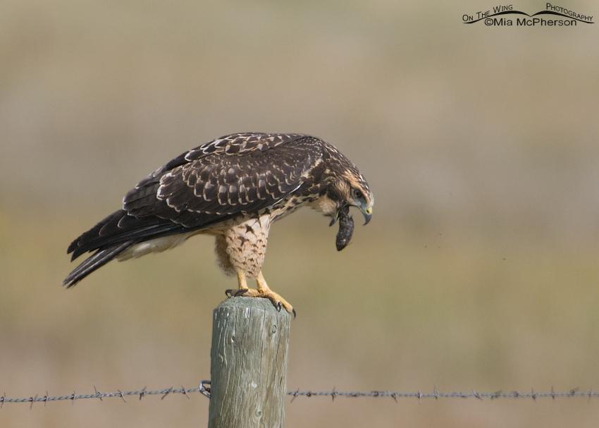 Juvenile Swainson's Hawk expelling a pellet