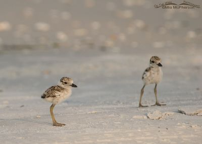 Two Wilson's Plover chicks