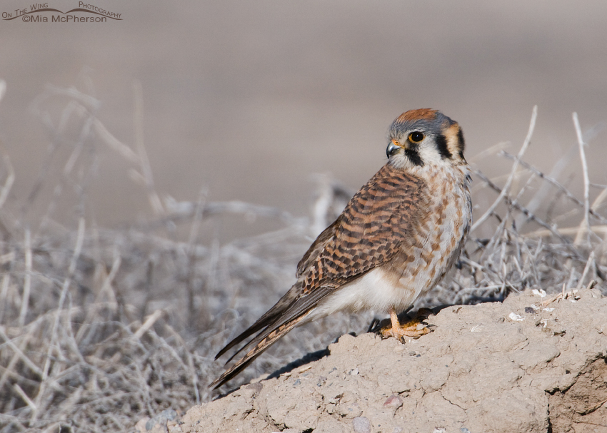 Female American Kestrel perched on a mound of dirt in the west desert