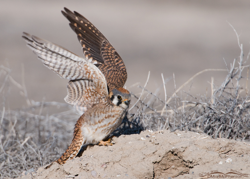 American Kestrel female about to lift off from a mound of dirt in the west desert