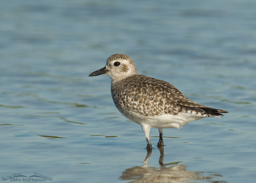 Black-bellied Plover at Fort De Soto