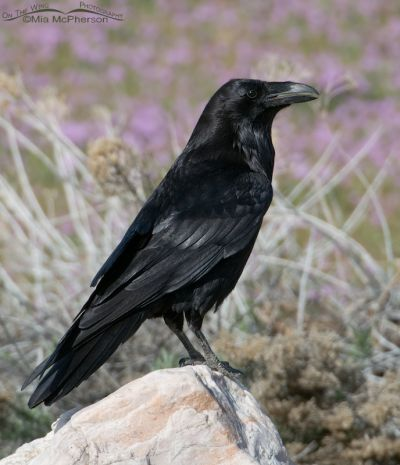 Springtime Raven
