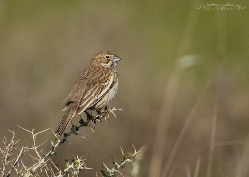 Female Lark Bunting