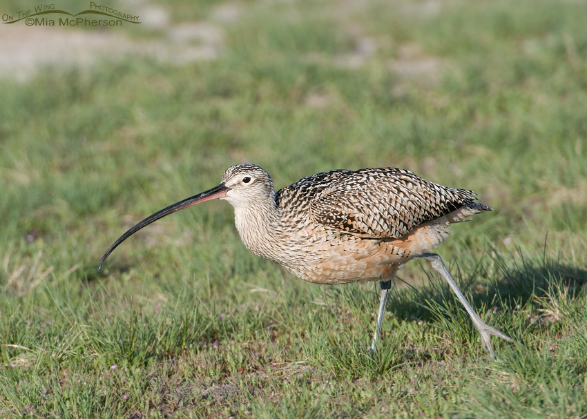 Long-billed Curlew about to lift off