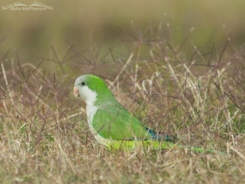 Monk Parakeet at Roosevelt Wetland