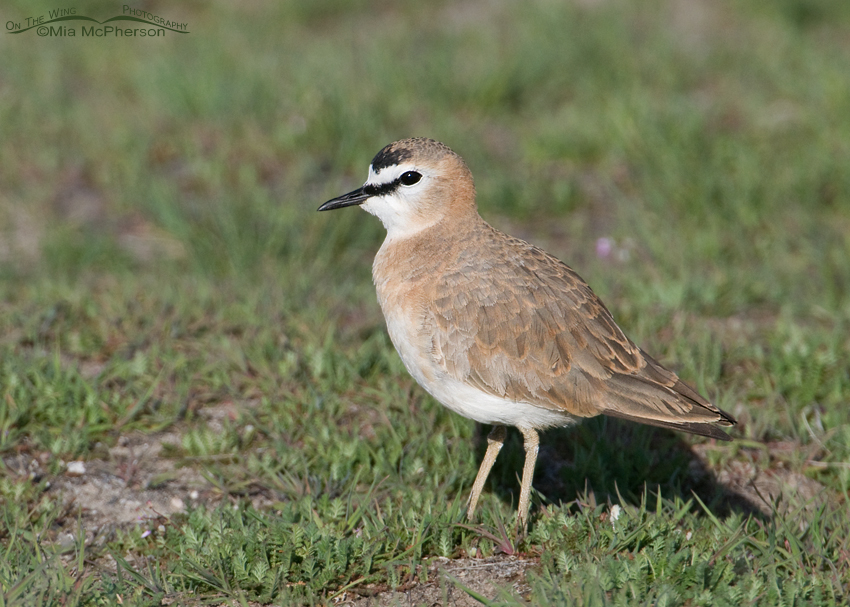 Adult Mountain Plover left side profile
