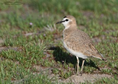 Female Mountain Plover in a field