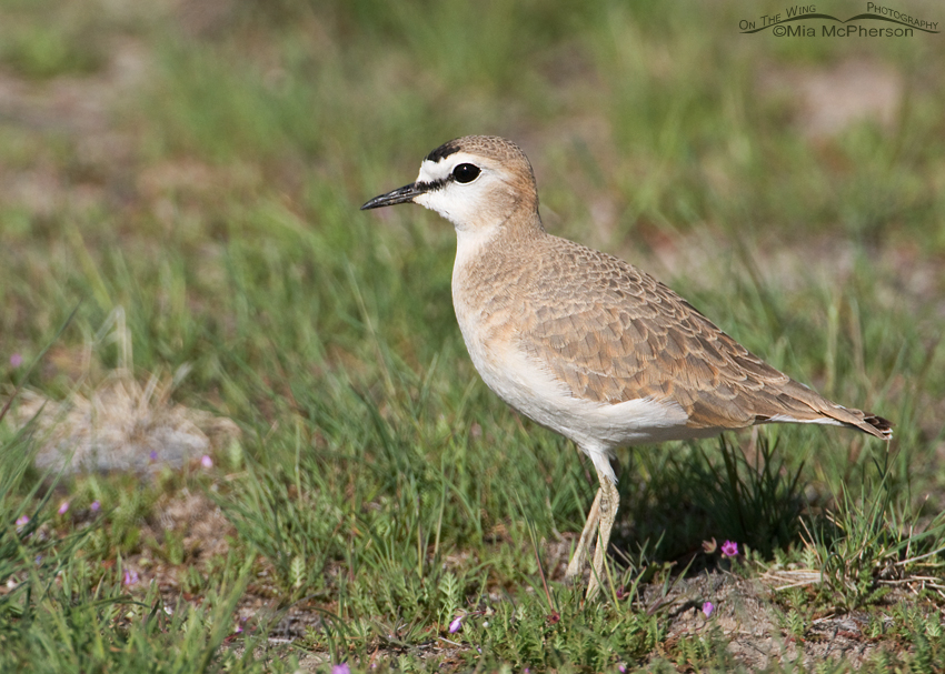 Mountain Plover, female going into breeding plumage