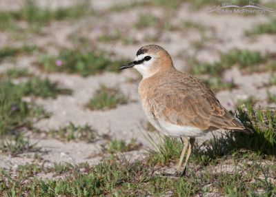 Male Mountain Plover, April 10, 2013