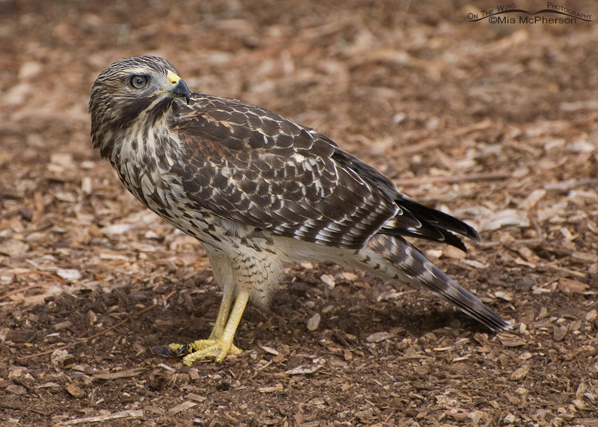 Red-shouldered Hawk juvenile on the ground