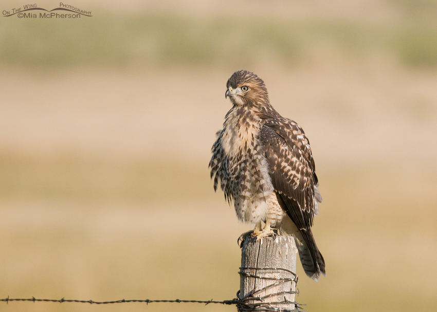 Juvenile Red-tailed Hawk in the Centennial Valley