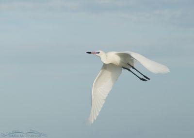 White morph Reddish Egret in flight of the Gulf