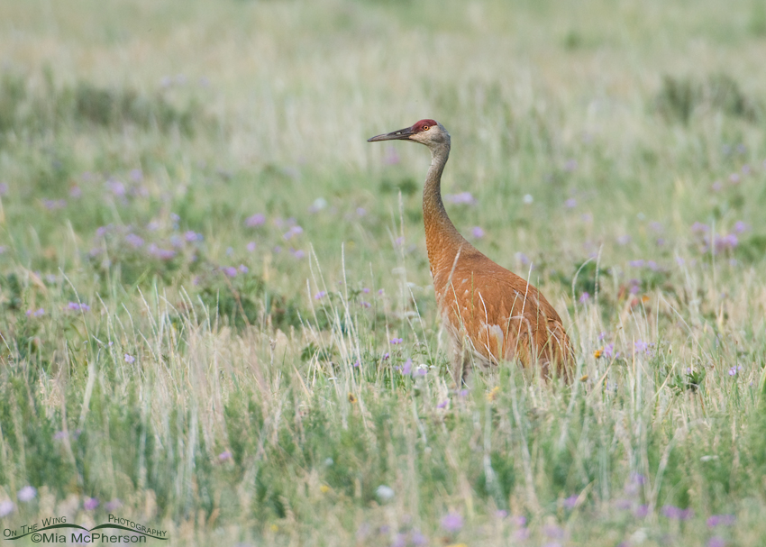 Sandhill Crane in a field of wildflowers