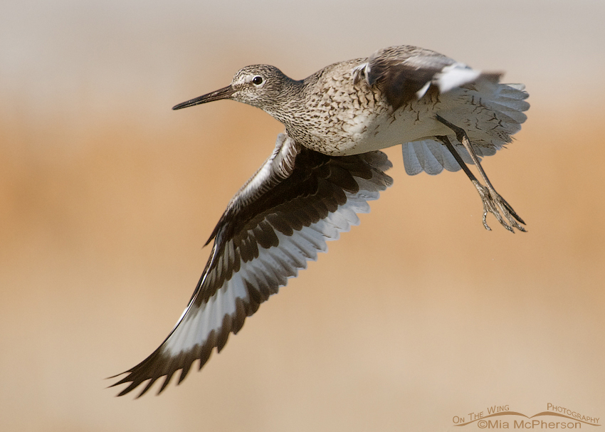Willet just after lift off
