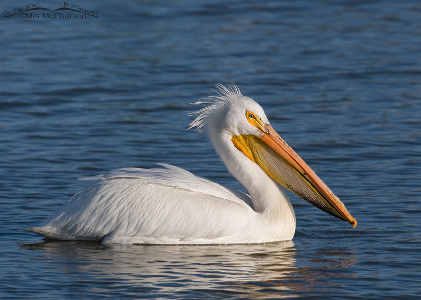 American White Pelican on the Bear River