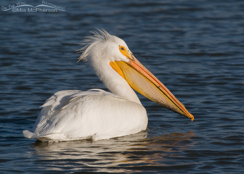 Adult American White Pelican