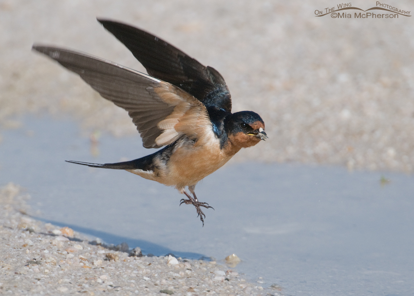 Barn Swallow lifting off with nesting material in its bill