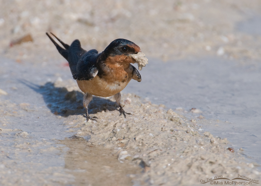 Barn Swallow with a beak full of mud