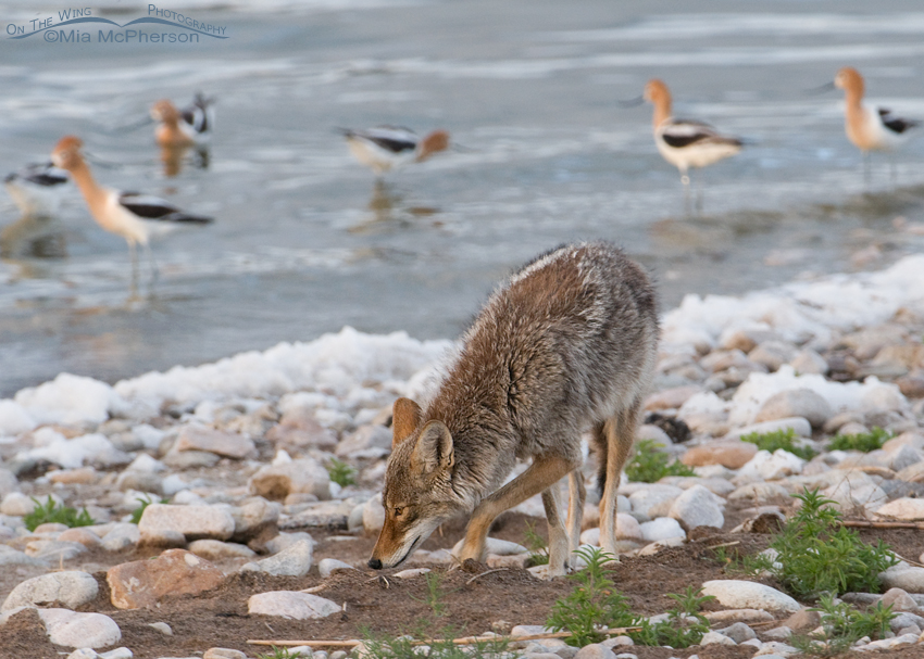 Coyote sniffing the ground