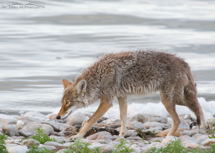 Coyote hunting on the causeway