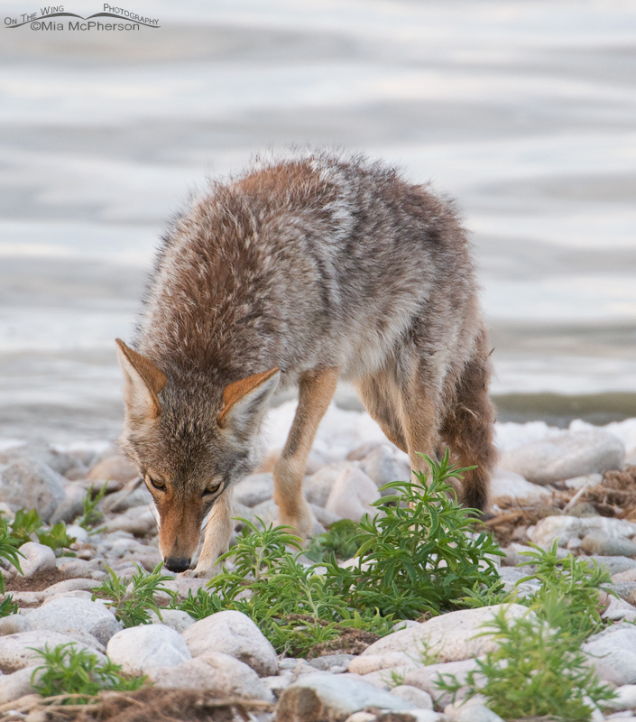 By now I am wondering what the Coyote is looking for