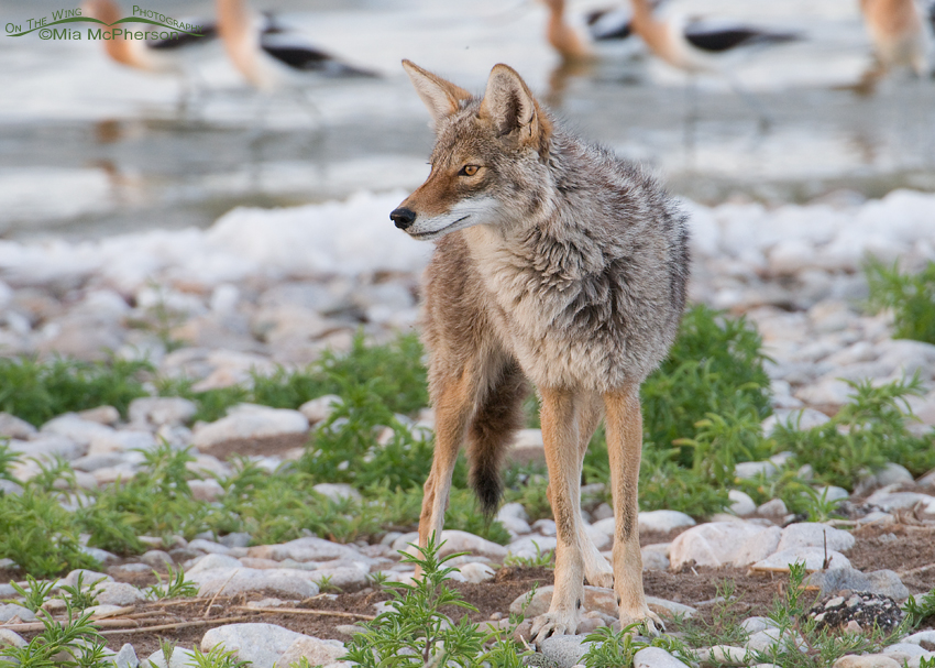Coyote with American Avocets in the background