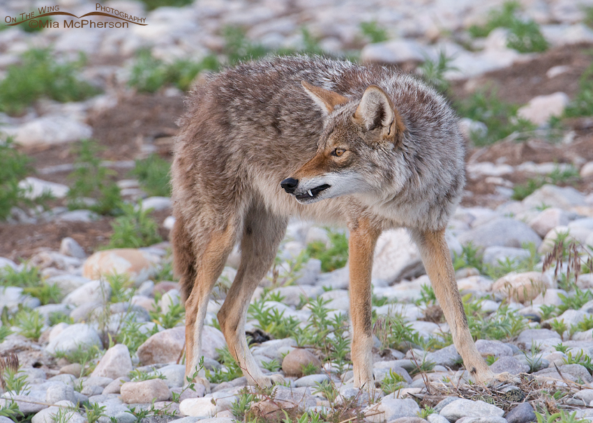 Coyote at a second nest