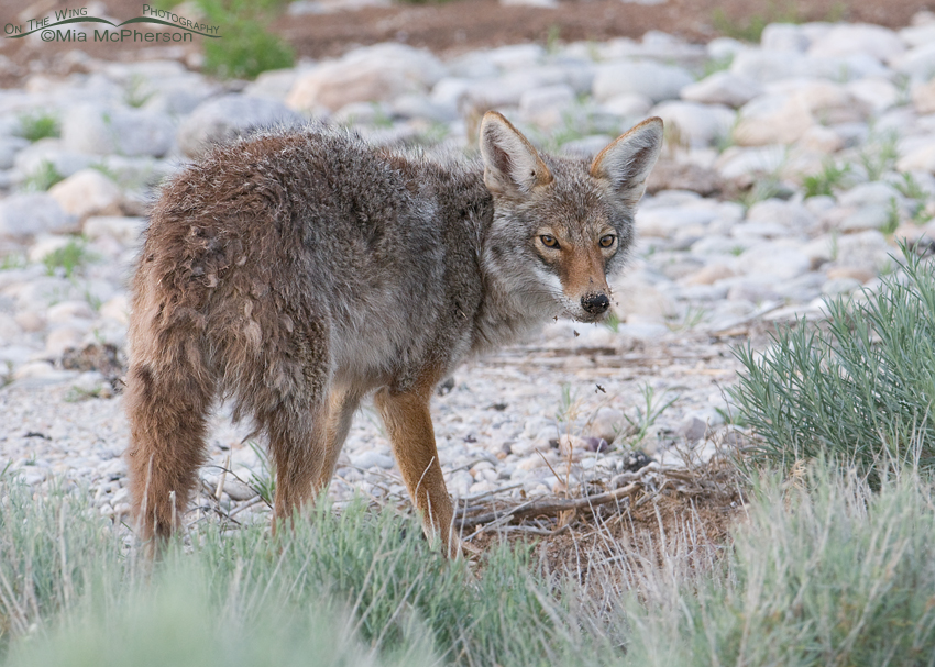 Coyote after hiding the egg