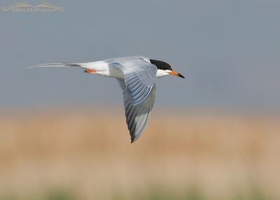 Forster's Tern in breeding plumage in flight over Bear River NWR