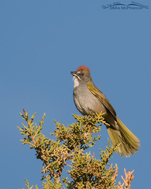 Singing Green-tailed Towhee
