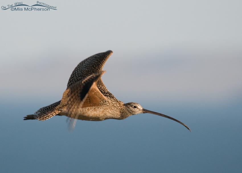 Long-billed Curlew in flight