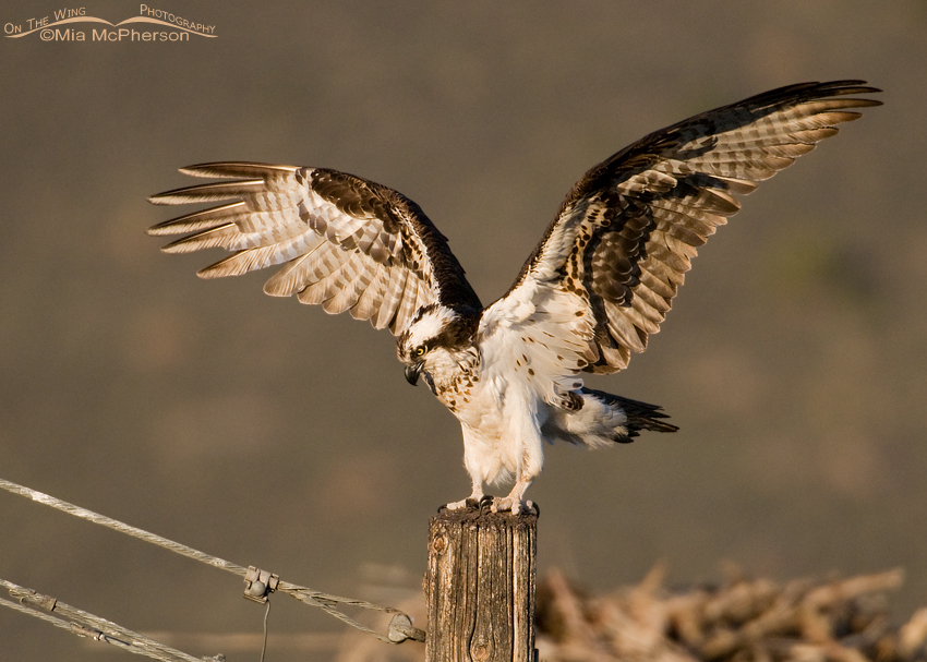 Female Osprey in golden light