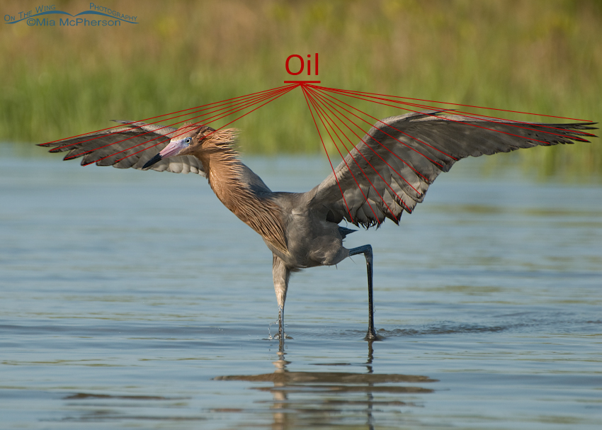 A different view of the Oil on the Reddish Egret