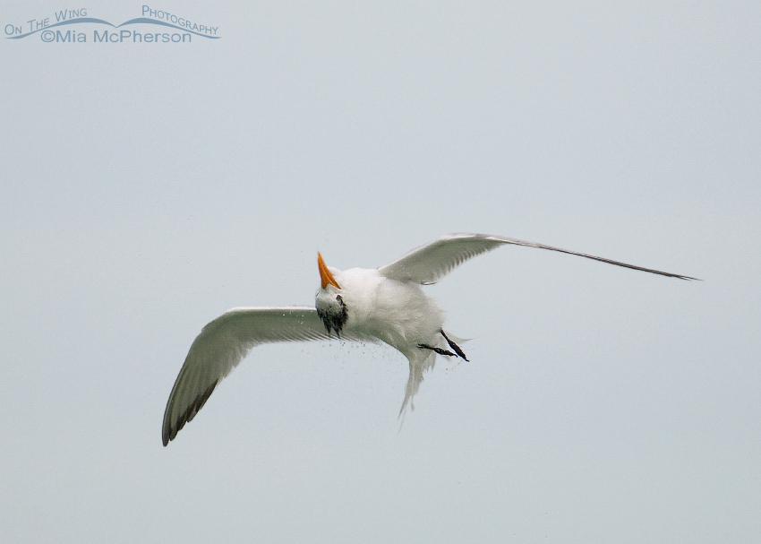 Royal Tern Over