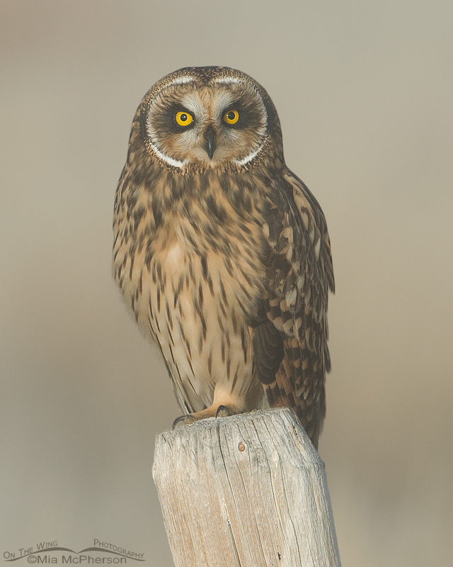 Female Short-eared Owl in a fog